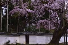 醍醐寺の桜ーⅢ