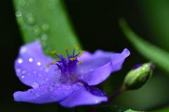 梅雨に咲く<ムラサキツユクサ>