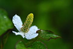 梅雨に咲く<ドクダミ>