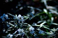 春の目覚め<節分草>
