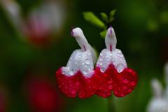 雨に咲く<チェリーセージ>