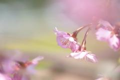 さくら 咲く