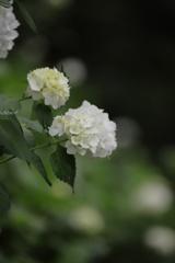白い紫陽花は好きですか?