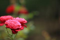 薔薇も終わりです