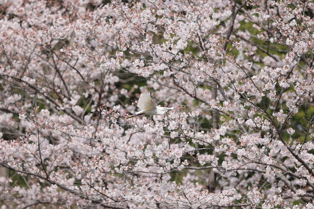 桜ダイサギ