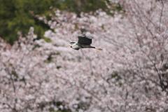 桜アオちゃん
