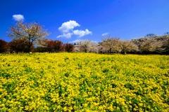 赤城南面千本桜①