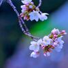 前橋公園の桜③