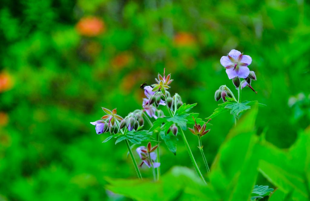 登山道の花②