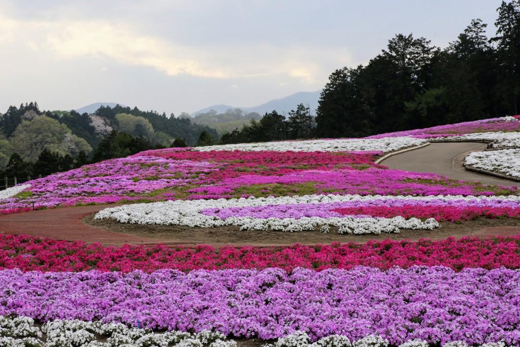 みさと芝桜公園①