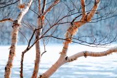 真冬の白樺