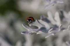 雪草とてんとう虫