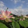 映える蓮の花
