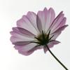透き通る花びら