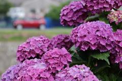 むらさき紫陽花