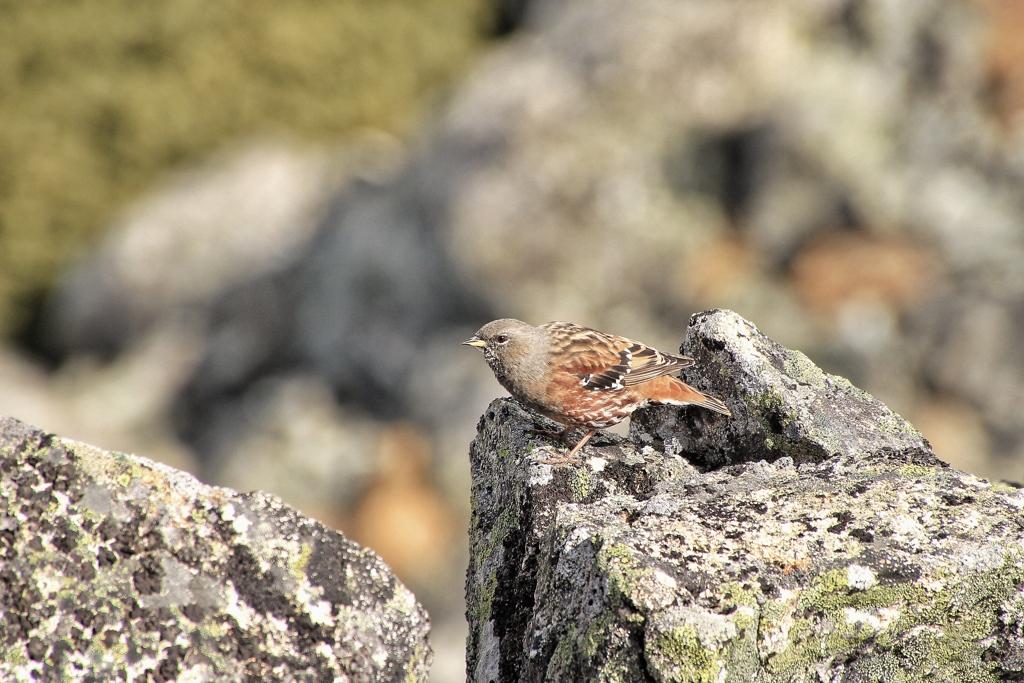 標高3000mに住む鳥
