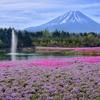 富士芝桜まつり 1