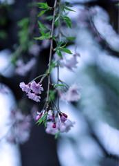 枝垂桜 風に揺れて