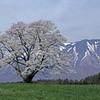 東北の一本桜