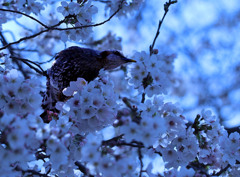 おっさん鳥の縄張りー浅川土手