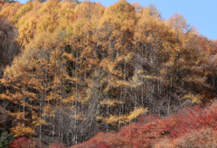 カラマツ林の紅葉ー昼11:05