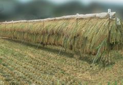 都会の稲刈り
