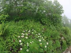 高山植物(カールで)ーハクサンイチゲ