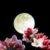 満月と沈丁花