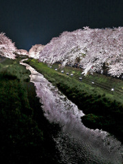 桜堤燃ゆる