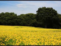 黄色のジュウタンー台風前のコスモス畑