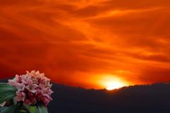 夕日と沈丁花