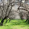 白い森の奥へーコゲサワ梅林Ⅱ