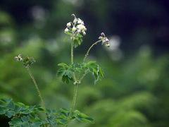 高山植物(カールで)ー雨に濡れて