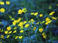 高山植物(カールで)ーミヤマキンポウゲ