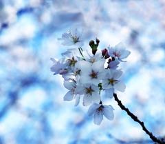 楚々と咲く