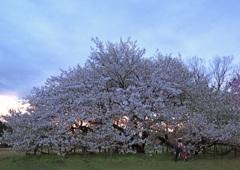 落日の大島桜