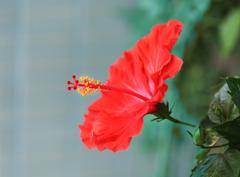 希望の赤い花ーハイビスカス-1