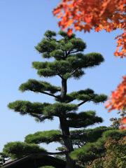 日本庭園の松ー昭和記念公園