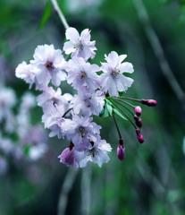 枝垂桜の舞うマンション庭