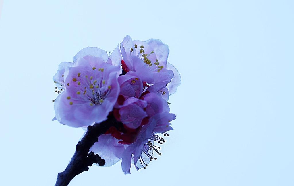 さくら咲く-2