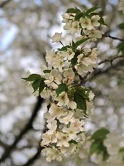 大島桜一枝
