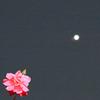 未確認飛行物体とバラ