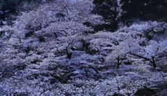 春の祝福ー高幡不動