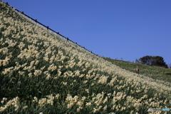 香りの丘 水仙
