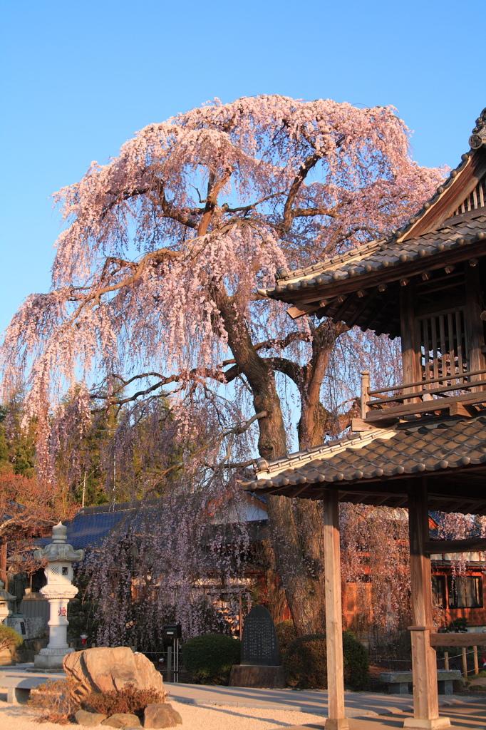 阿弥陀寺の枝垂桜。