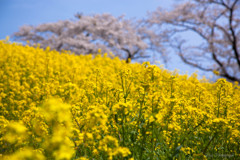 -桜と空と菜の花と-