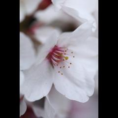 -三日見ぬ間の桜-