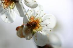 -梅は咲いたか 桜はまだかいな-