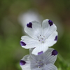 -Nemophila maculata-
