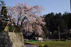樹齢100年